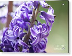 New Year Purple Acrylic Print