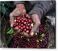 Nicaraguan Coffee Picker Acrylic Print
