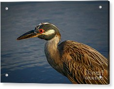 Acrylic Print featuring the photograph Night Heron Portrait by Tom Claud