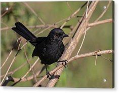 Northern Black Flycatcher Acrylic Print