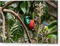 Northern Double-collared Sunbird Acrylic Print