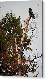 Northern Hawk Owl 101402 Acrylic Print