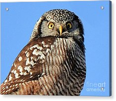 Acrylic Print featuring the photograph Northern Hawk-owl by Debbie Stahre