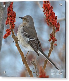 Acrylic Print featuring the photograph Northern Mockingbird by Debbie Stahre
