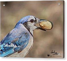 Nutty Bluejay Acrylic Print