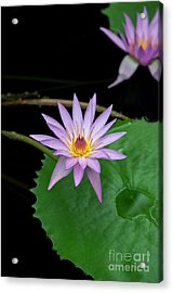 Nymphaea A Siebert Waterlily Acrylic Print