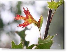 Oak Leaf Turning Acrylic Print