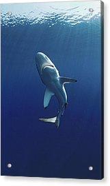 Oceanic Blacktip Shark Acrylic Print by Jeff Rotman