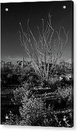 Ocotillo Black And White Acrylic Print
