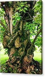 Old Catalpa Tree _ Chatham_3893_18 Acrylic Print