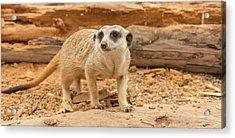 One Meerkat Looking Around. Acrylic Print