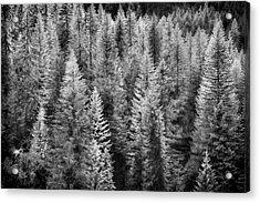 One Of Many Alp Trees Acrylic Print