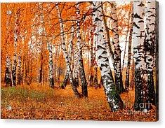 Orange Birch Grove Acrylic Print