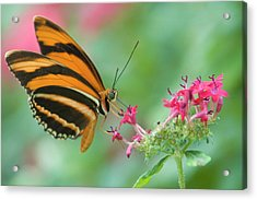 Orange Butterfly Feeding On Pink Flowers Acrylic Print by By Ken Ilio