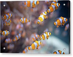 Orange Clown Fish In Water Acrylic Print