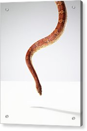 Orange Snake Hovering Above The Table Acrylic Print by Michael Blann
