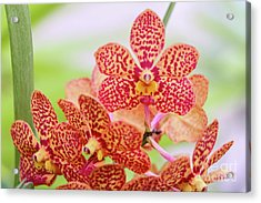 Orange Spotted Orchids Acrylic Print