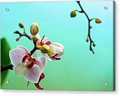 Orchids Out For A Breath Of Fresh Air Acrylic Print by Photo By Alan Shapiro
