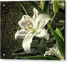 Acrylic Print featuring the photograph Crystal Blanca Oriental Hybrid Lily by Bill Swartwout Fine Art Photography