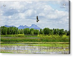 Osprey Over The Wetlands Acrylic Print
