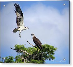 Ospreys At Blue Cypress Lake Acrylic Print