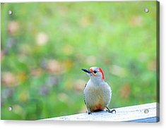 Acrylic Print featuring the photograph Our First Red-bellied by Onyonet  Photo Studios