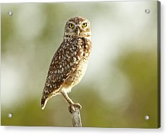 Owl On Blurred Background Acrylic Print by © Jackson Carvalho