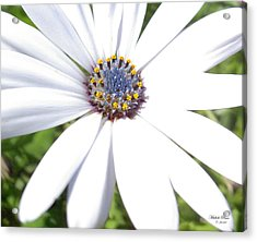 Page 13 From The Book, Peace In The Present Moment. Daisy Brilliance Acrylic Print