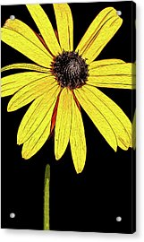 Acrylic Print featuring the mixed media Painted Black-eyed Susan Portrait by Onyonet  Photo Studios