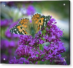 Painted Lady 3 Acrylic Print