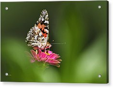 Acrylic Print featuring the photograph Painted Lady Butterfly At Rest by Christina Rollo