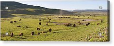 Panorama Of Bison In Hayden Valley Acrylic Print