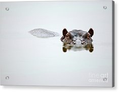 Partial Hippo Face Showing Above Smooth Acrylic Print