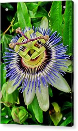 Passion Flower Bee Delight Acrylic Print