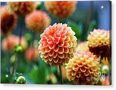 Peach Dahlias Acrylic Print