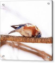 Peek-a-boo Blue Bird Acrylic Print