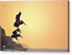 Pelican Down Acrylic Print
