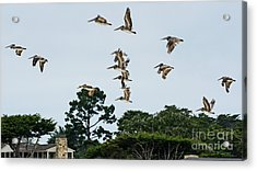 Pelicans Flying Above Homes Acrylic Print