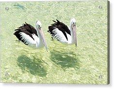 Pelicans Acrylic Print