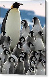 Penguin Creche In Antarctica Acrylic Print by David Yarrow Photography
