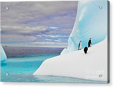 Penguins In Iceberg In Antarctica Pole Acrylic Print