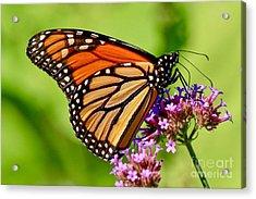 Perfect Monarch Acrylic Print
