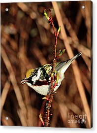 Perky Little Warbler Acrylic Print