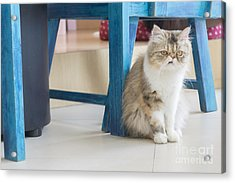 Persian Cat Sitting On The Floor Acrylic Print