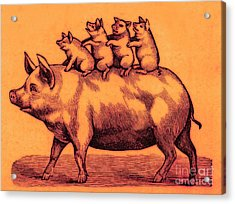 Pig With Her Piglets Acrylic Print