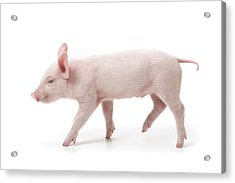 Piglet Acrylic Print by Fuse