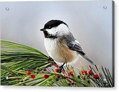 Acrylic Print featuring the photograph Pine Chickadee by Christina Rollo