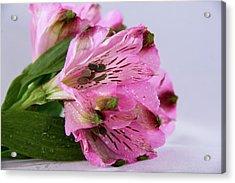 Pink Alstroemeria-4 Acrylic Print