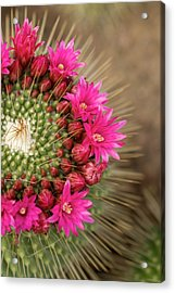 Pink Cactus Flower In Full Bloom Acrylic Print by Zepperwing