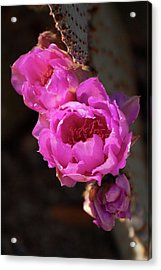 Acrylic Print featuring the photograph Pink Cactus Flowers 2 by Tatiana Travelways